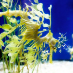 Leafy Sea Dragon. Taken at the Long Beach Aquarium.